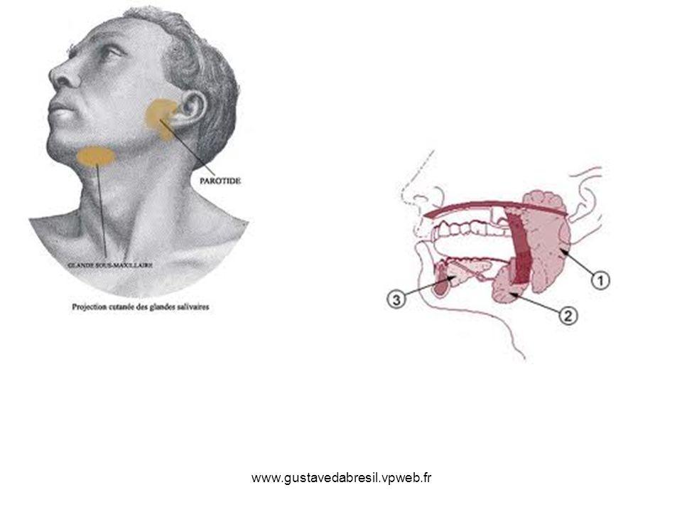Glandes sublinguales Glandes salivaires situéesà la partie ant du sillon alvéolo-lingual Elles sont en rapport avec : En haut avec la muqueuse buccale En bas avec le mylo-hyoidien En dehors avec la fossette sublinguale de la mandibule En dedans avec le génio-glosse dont elle est séparée par le canal de Wharton et nerf lingual Extrémité post en contact avec le prolongement ant de la sous- maxillaire 12-15 canaux excréteurs ou canaux de Walther et Rivinus