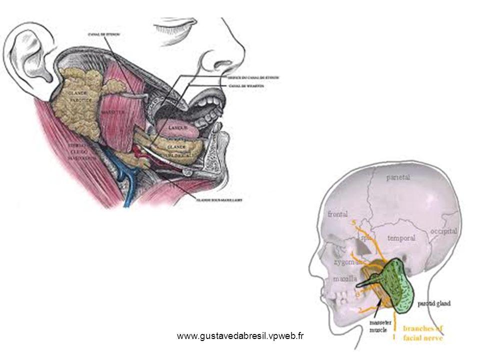 Parathyroïdes 4 petites glandes derrière les lobes latéraux de la thyroïde 2 de chaque cote Siégeant le long du bord interne de la face post du lobe latéral Lune au-dessus, lautre au- dessous de la terminaison de lartère thyroidienne inférieure Glandes endocrines sécrétant la parathormone ou PTH