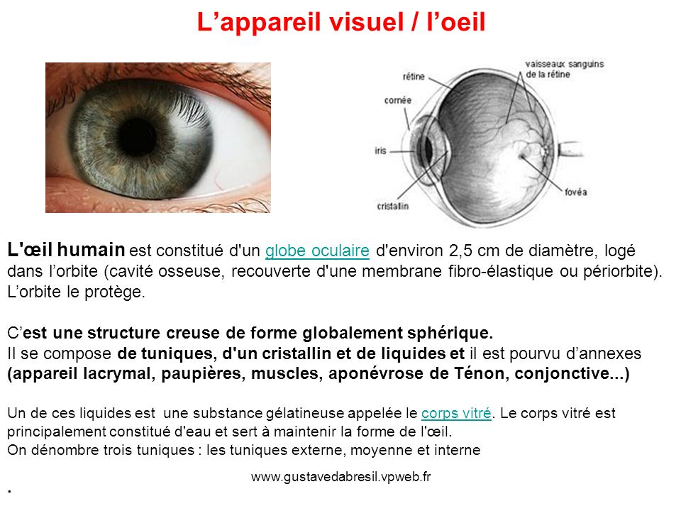 www.gustavedabresil.vpweb.fr Lappareil visuel / loeil L'œil humain est constitué d'un globe oculaire d'environ 2,5 cm de diamètre, logé dans lorbite (