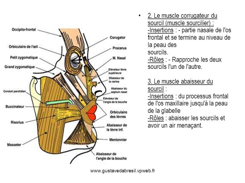 2. Le muscle corrugateur du sourcil (muscle sourcilier) : -Insertions : - partie nasale de l'os frontal et se termine au niveau de la peau des sourcil