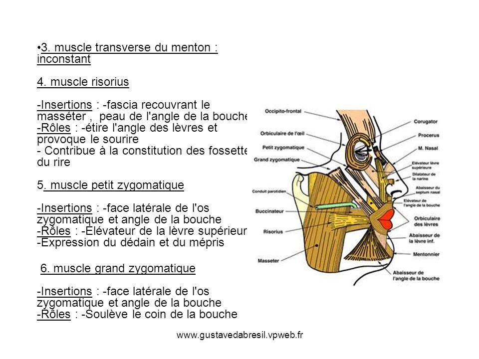 www.gustavedabresil.vpweb.fr 3. muscle transverse du menton : inconstant 4. muscle risorius -Insertions : -fascia recouvrant le masséter, peau de l'an