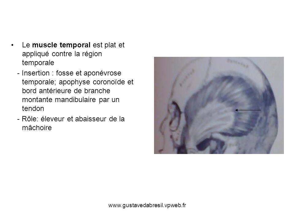www.gustavedabresil.vpweb.fr Le muscle temporal est plat et appliqué contre la région temporale - Insertion : fosse et aponévrose temporale; apophyse