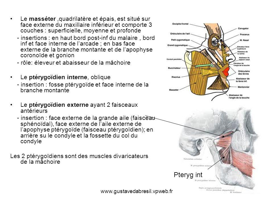www.gustavedabresil.vpweb.fr Le masséter,quadrilatère et épais, est situé sur face externe du maxillaire inférieur et comporte 3 couches : superficiel