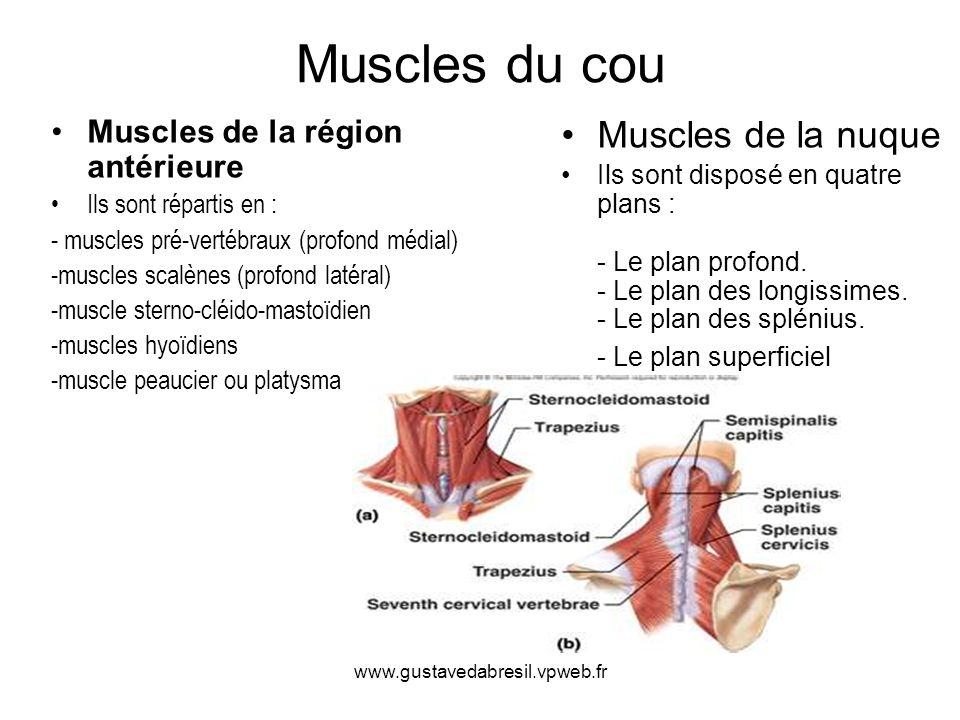 www.gustavedabresil.vpweb.fr Muscles du cou Muscles de la région antérieure Ils sont répartis en : - muscles pré-vertébraux (profond médial) -muscles