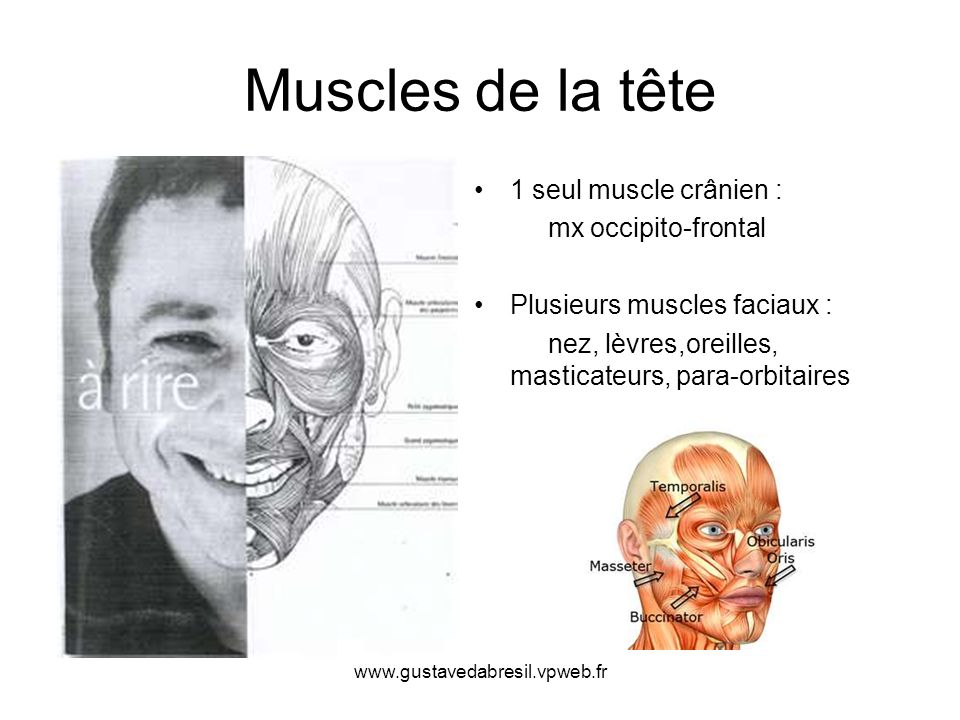 Muscles de la tête 1 seul muscle crânien : mx occipito-frontal Plusieurs muscles faciaux : nez, lèvres,oreilles, masticateurs, para-orbitaires