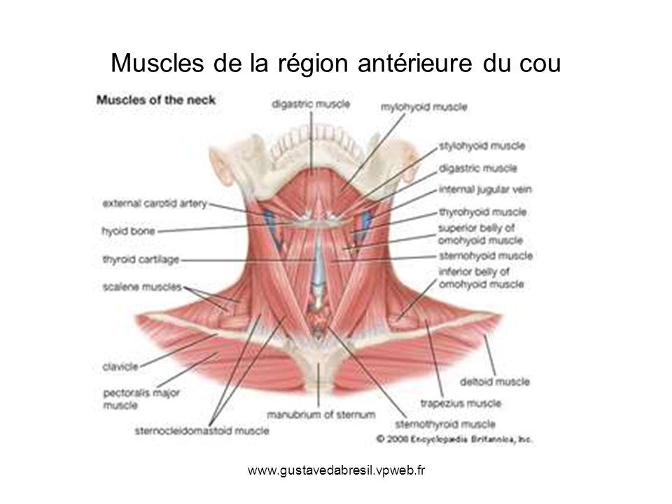 www.gustavedabresil.vpweb.fr Muscles de la région antérieure du cou
