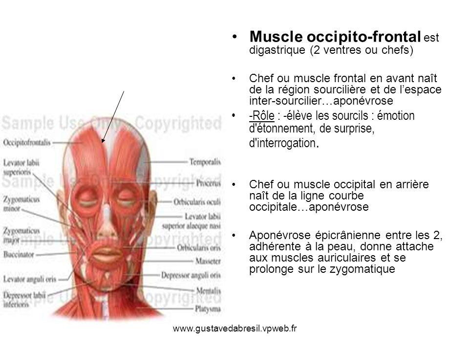 www.gustavedabresil.vpweb.fr Muscle occipito-frontal est digastrique (2 ventres ou chefs) Chef ou muscle frontal en avant naît de la région sourcilièr
