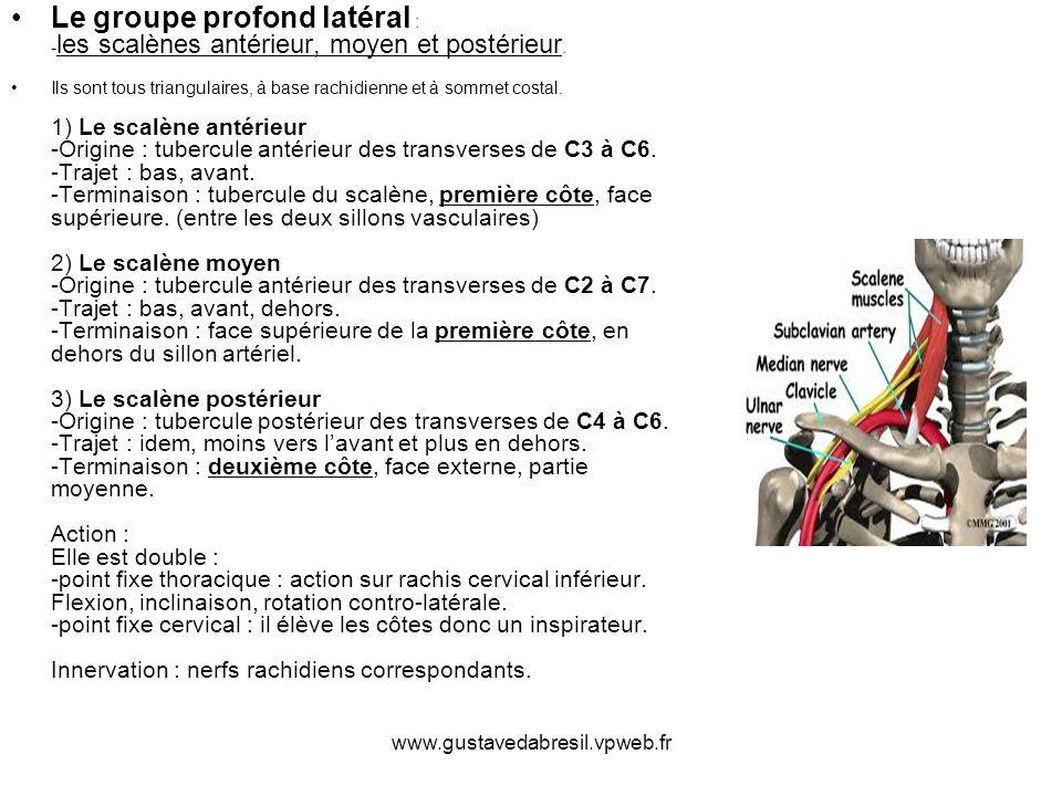 www.gustavedabresil.vpweb.fr Le groupe profond latéral : - les scalènes antérieur, moyen et postérieur. Ils sont tous triangulaires, à base rachidienn