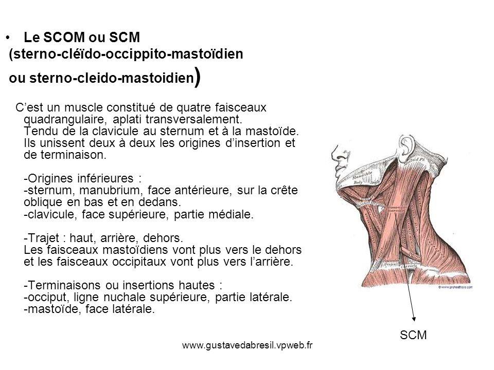 Le SCOM ou SCM (sterno-cléïdo-occippito-mastoïdien ou sterno-cleido-mastoidien ) Cest un muscle constitué de quatre faisceaux quadrangulaire, aplati t