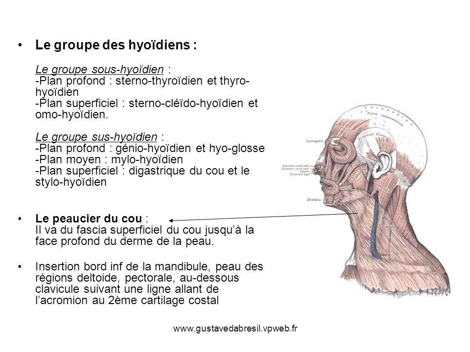www.gustavedabresil.vpweb.fr Le groupe des hyoïdiens : Le groupe sous-hyoïdien : -Plan profond : sterno-thyroïdien et thyro- hyoïdien -Plan superficie
