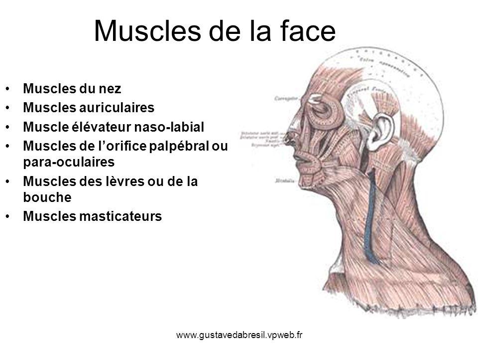 www.gustavedabresil.vpweb.fr Muscles de la face Muscles du nez Muscles auriculaires Muscle élévateur naso-labial Muscles de lorifice palpébral ou para