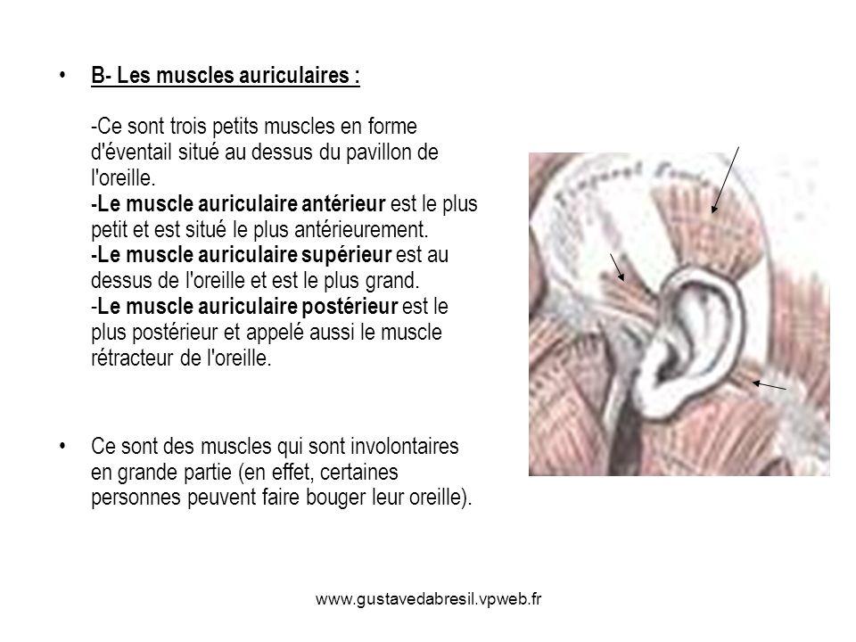 www.gustavedabresil.vpweb.fr B- Les muscles auriculaires : -Ce sont trois petits muscles en forme d'éventail situé au dessus du pavillon de l'oreille.