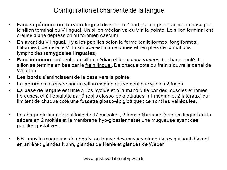 www.gustavedabresil.vpweb.fr Configuration et charpente de la langue Face supérieure ou dorsum lingual divisée en 2 parties : corps et racine ou base par le sillon terminal ou V lingual.