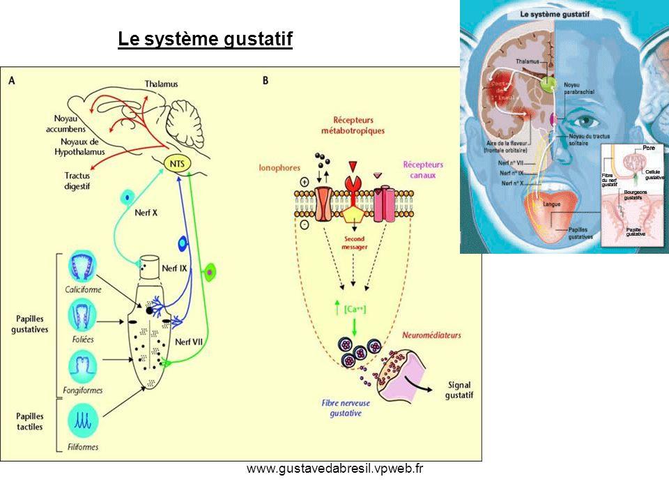 Le système gustatif