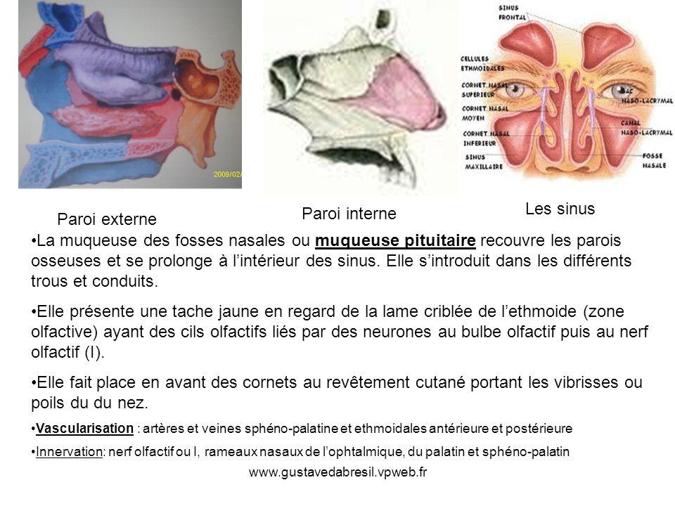 www.gustavedabresil.vpweb.fr Paroi externe Paroi interne La muqueuse des fosses nasales ou muqueuse pituitaire recouvre les parois osseuses et se prolonge à lintérieur des sinus.