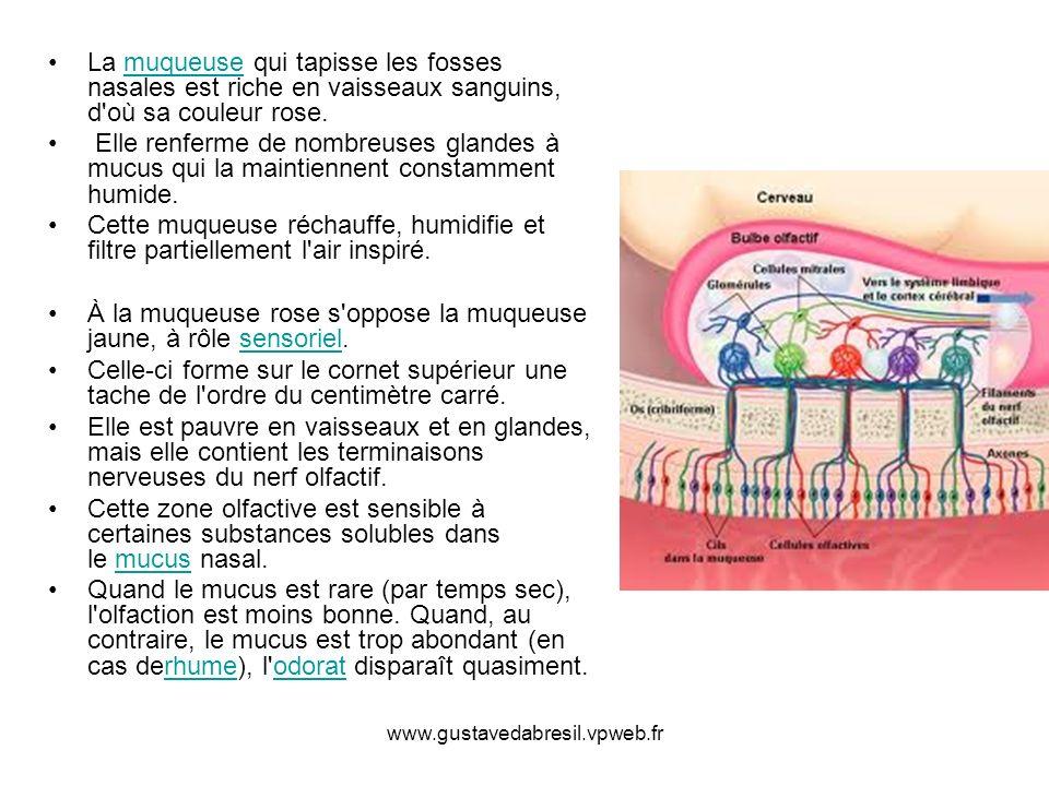 www.gustavedabresil.vpweb.fr La muqueuse qui tapisse les fosses nasales est riche en vaisseaux sanguins, d où sa couleur rose.muqueuse Elle renferme de nombreuses glandes à mucus qui la maintiennent constamment humide.