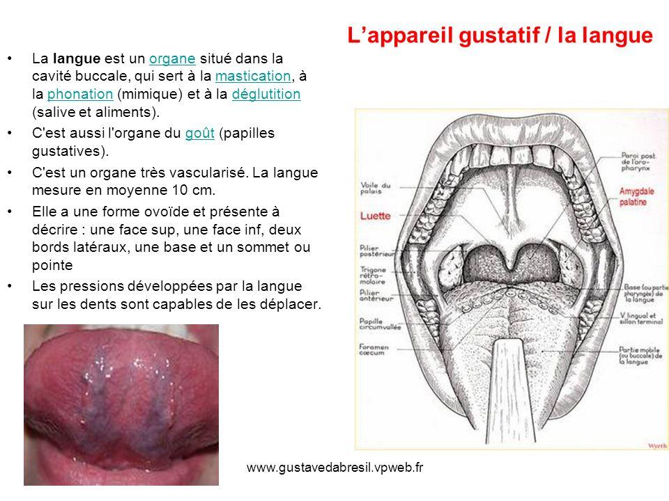 www.gustavedabresil.vpweb.fr Lappareil gustatif / la langue La langue est un organe situé dans la cavité buccale, qui sert à la mastication, à la phonation (mimique) et à la déglutition (salive et aliments).organemasticationphonationdéglutition C est aussi l organe du goût (papilles gustatives).goût C est un organe très vascularisé.