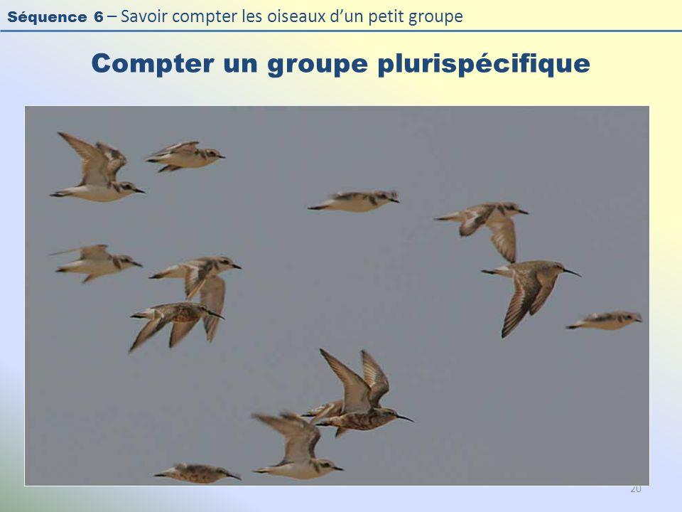 Séquence 6 – Savoir compter les oiseaux dun petit groupe Compter un groupe plurispécifique 20