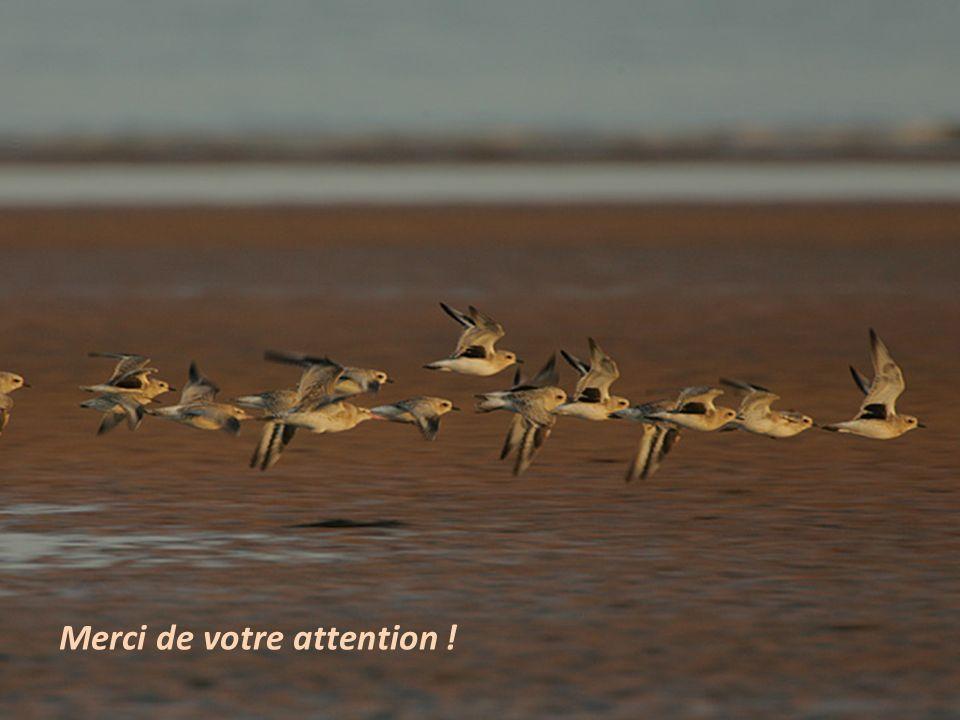Séquence 6 – Savoir compter les oiseaux dun petit groupe 24 Merci de votre attention !