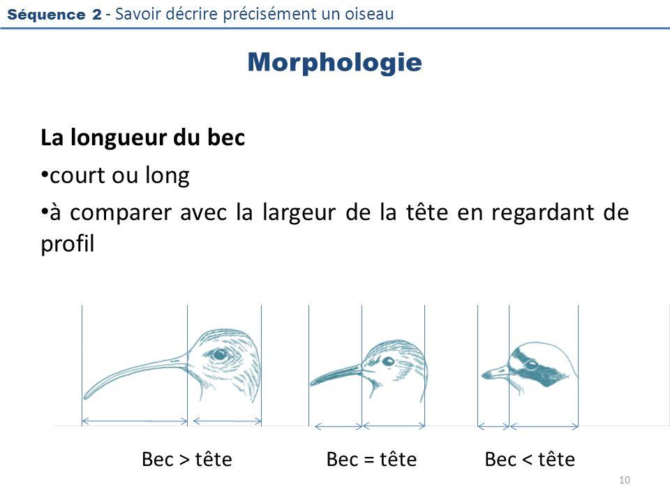 Séquence 2 - Savoir décrire précisément un oiseau Morphologie La longueur du bec court ou long à comparer avec la largeur de la tête en regardant de p