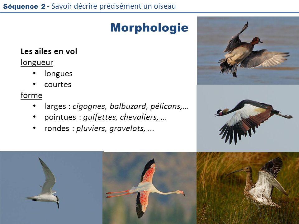 Séquence 2 - Savoir décrire précisément un oiseau Morphologie Les ailes en vol longueur longues courtes forme larges : cigognes, balbuzard, pélicans,…
