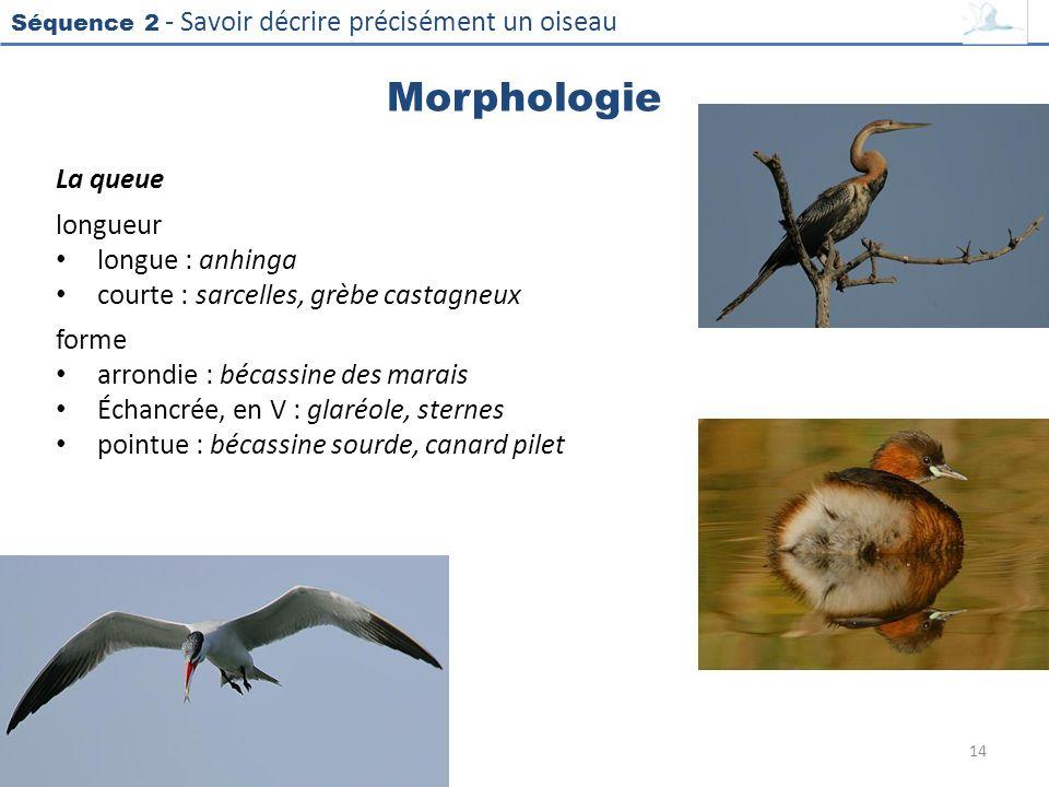 Séquence 2 - Savoir décrire précisément un oiseau Morphologie La queue longueur longue : anhinga courte : sarcelles, grèbe castagneux forme arrondie :