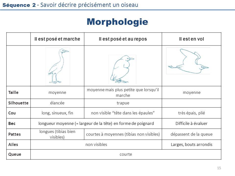 Séquence 2 - Savoir décrire précisément un oiseau Morphologie Il est posé et marcheIl est posé et au reposIl est en vol Taillemoyenne moyenne mais plu