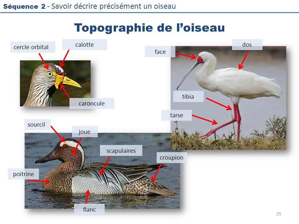 Séquence 2 - Savoir décrire précisément un oiseau Topographie de loiseau 25 calotte cercle orbital caroncule sourcil joue poitrine flanc scapulaires c