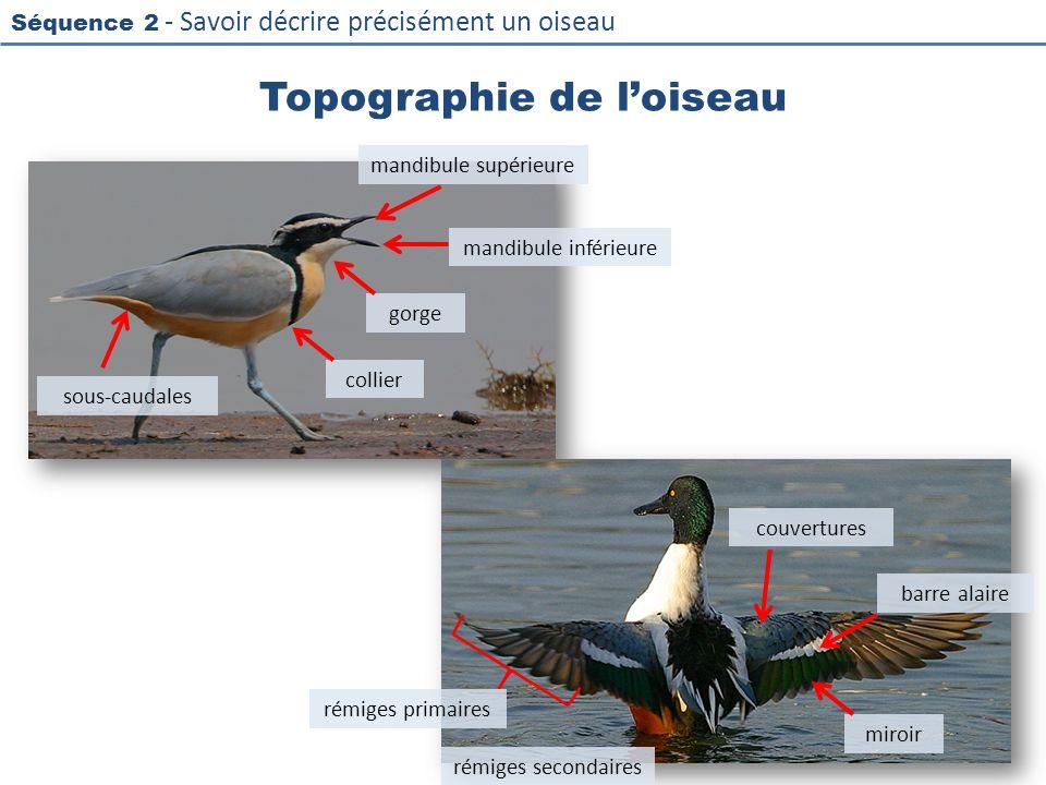 Séquence 2 - Savoir décrire précisément un oiseau Topographie de loiseau 26 mandibule supérieure mandibule inférieure collier sous-caudales gorge miro