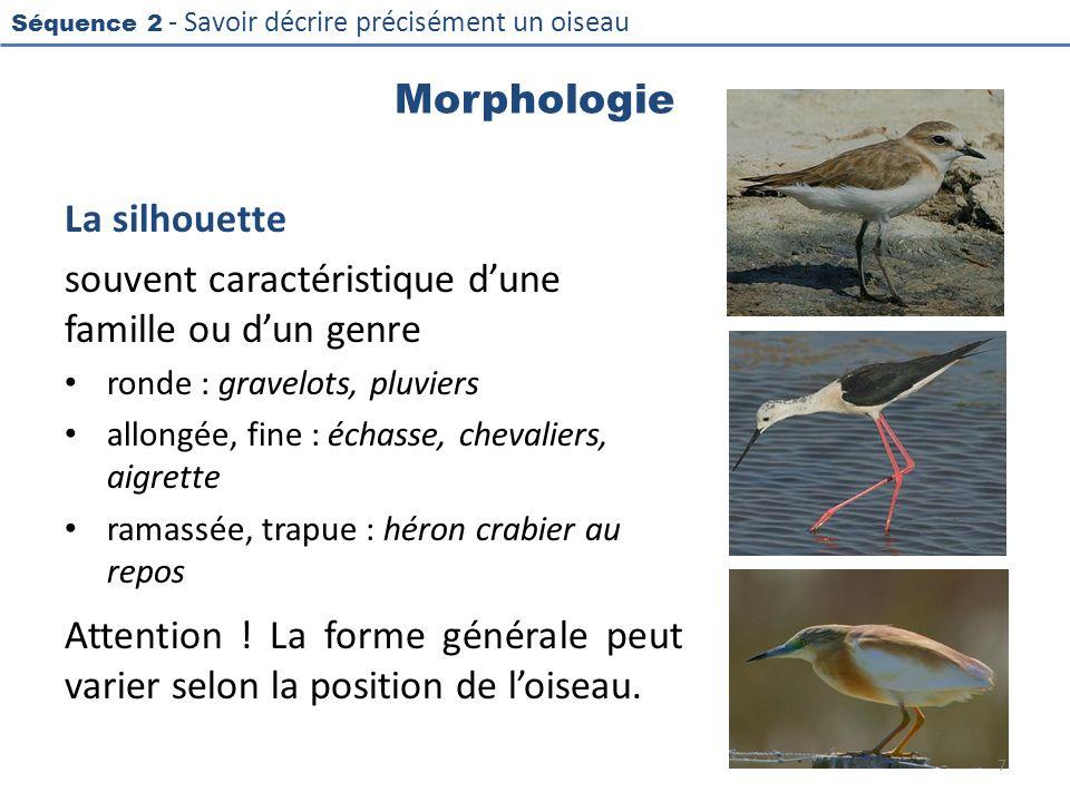 Séquence 2 - Savoir décrire précisément un oiseau Morphologie La silhouette souvent caractéristique dune famille ou dun genre ronde : gravelots, pluvi