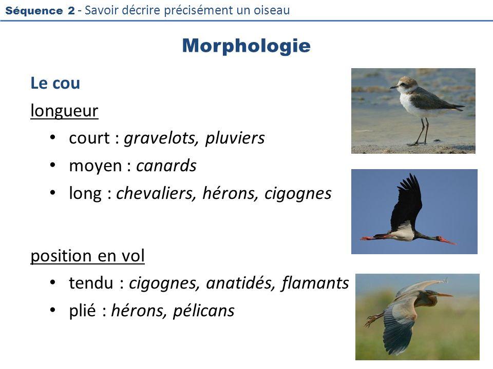 Séquence 2 - Savoir décrire précisément un oiseau Morphologie Le cou longueur court : gravelots, pluviers moyen : canards long : chevaliers, hérons, c