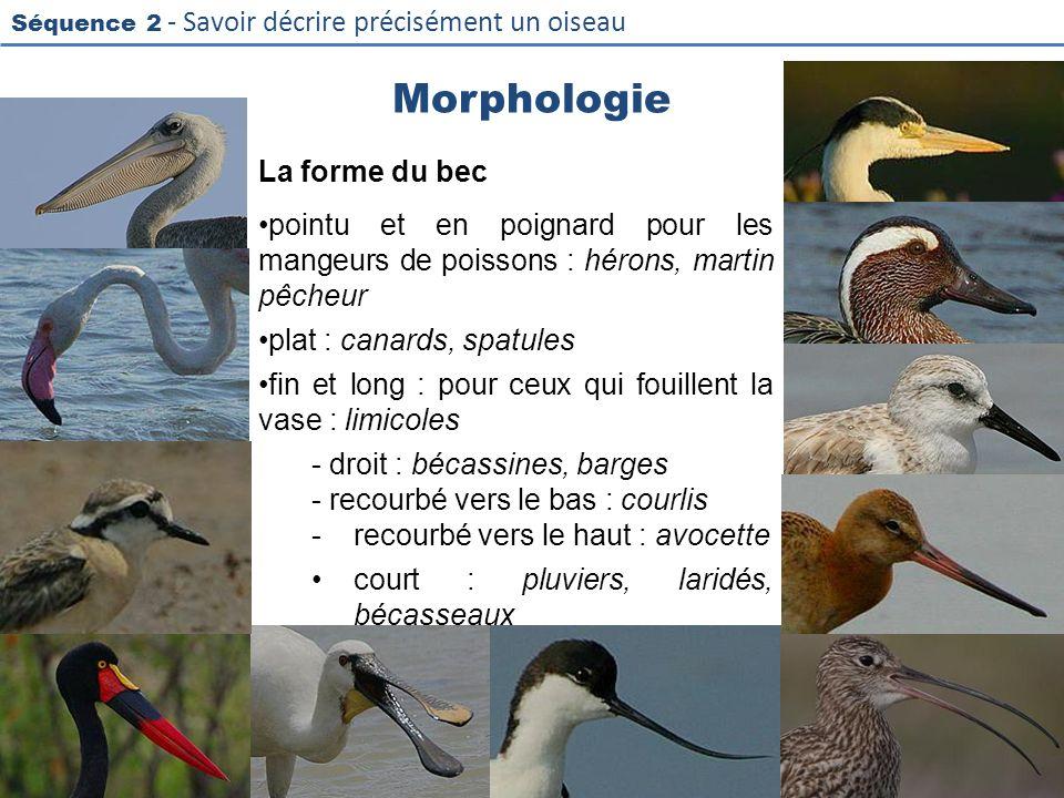 Séquence 2 - Savoir décrire précisément un oiseau Morphologie La forme du bec pointu et en poignard pour les mangeurs de poissons : hérons, martin pêc