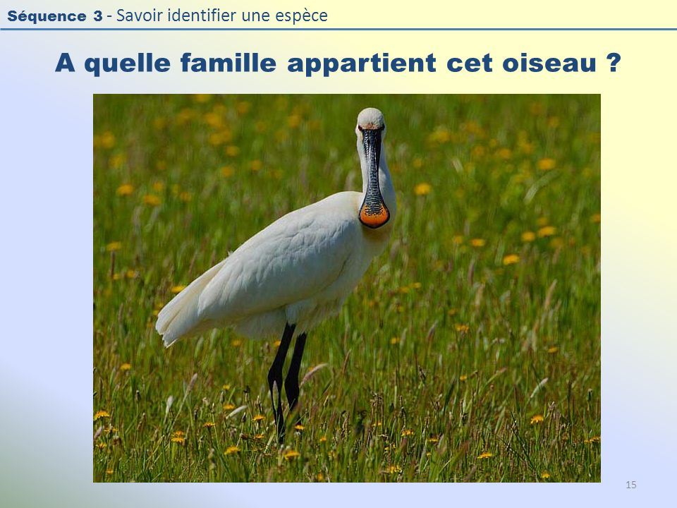 Séquence 3 - Savoir identifier une espèce A quelle famille appartient cet oiseau ? 15