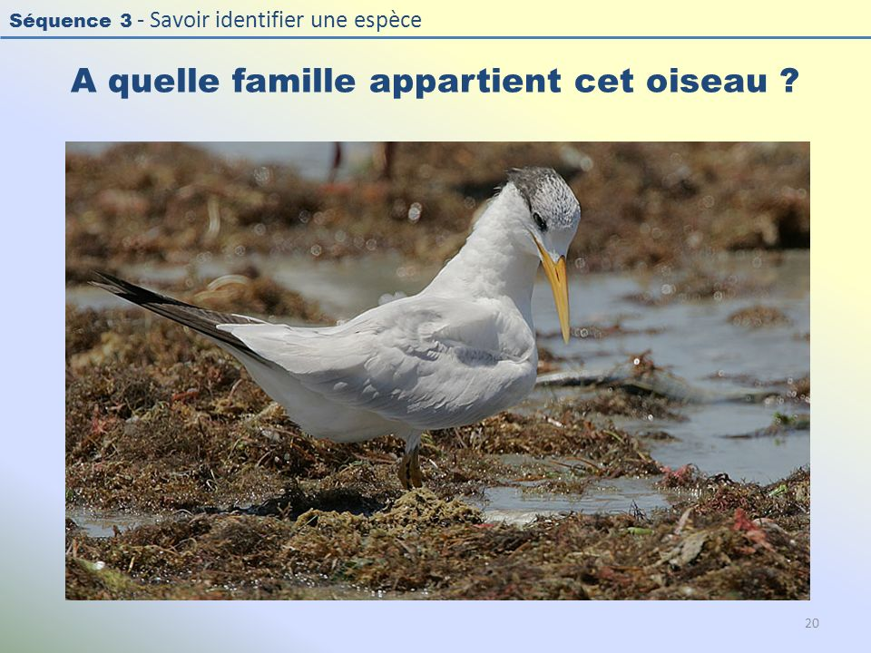 Séquence 3 - Savoir identifier une espèce A quelle famille appartient cet oiseau ? 20