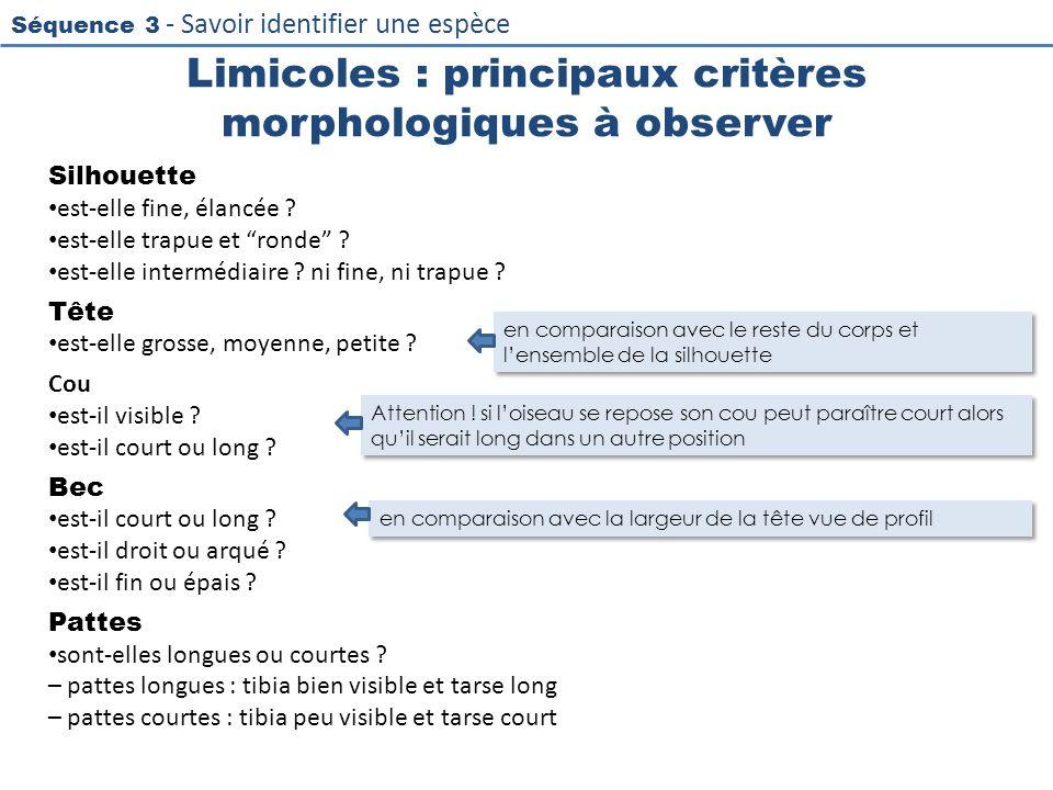 Séquence 3 - Savoir identifier une espèce Limicoles : principaux critères morphologiques à observer Silhouette est-elle fine, élancée ? est-elle trapu