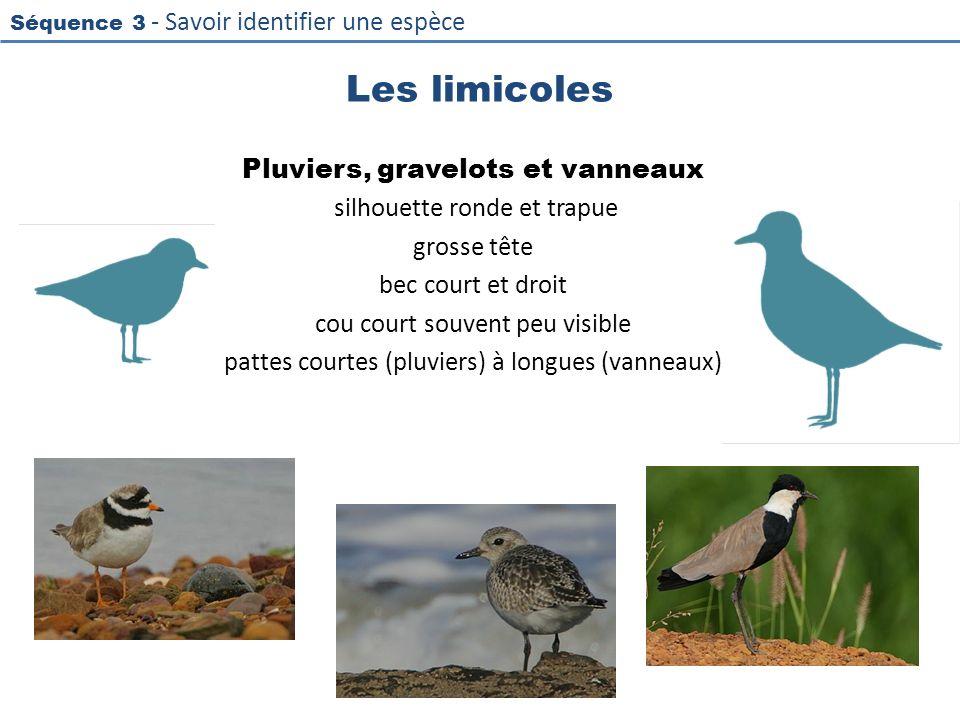 Séquence 3 - Savoir identifier une espèce Les limicoles Pluviers, gravelots et vanneaux silhouette ronde et trapue grosse tête bec court et droit cou