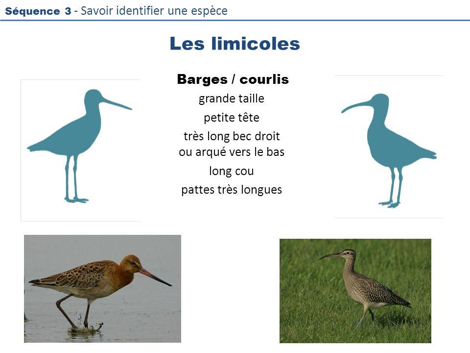 Séquence 3 - Savoir identifier une espèce Les limicoles Barges / courlis grande taille petite tête très long bec droit ou arqué vers le bas long cou p