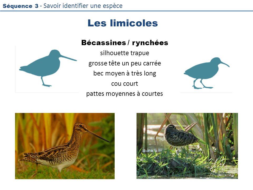 Séquence 3 - Savoir identifier une espèce Les limicoles Bécassines / rynchées silhouette trapue grosse tête un peu carrée bec moyen à très long cou co