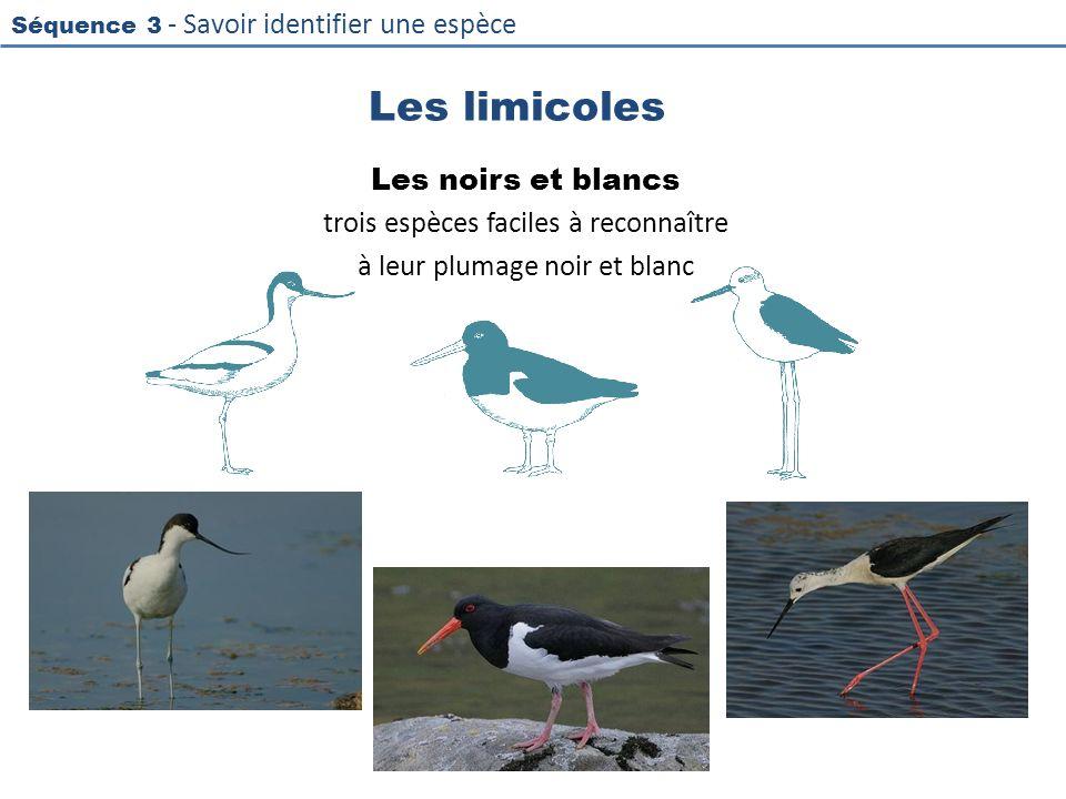 Séquence 3 - Savoir identifier une espèce Les limicoles Les noirs et blancs trois espèces faciles à reconnaître à leur plumage noir et blanc