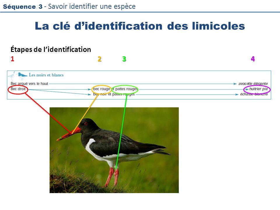 Séquence 3 - Savoir identifier une espèce La clé didentification des limicoles Étapes de lidentification 234 1234
