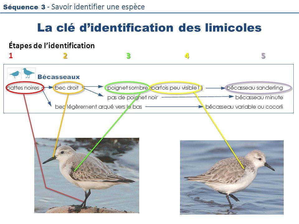 Séquence 3 - Savoir identifier une espèce La clé didentification des limicoles Étapes de lidentification 2345 12345