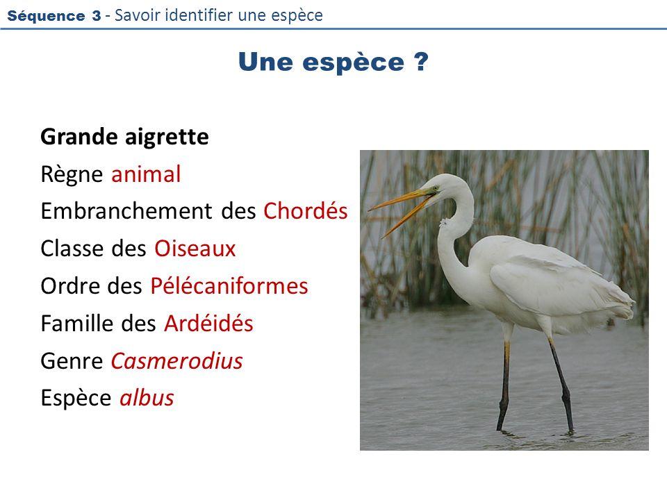 Séquence 3 - Savoir identifier une espèce Une espèce ? Grande aigrette Règne animal Embranchement des Chordés Classe des Oiseaux Ordre des Pélécanifor