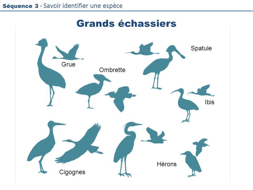 Séquence 3 - Savoir identifier une espèce Grands échassiers Grue Ombrette Spatule Ibis Hérons Cigognes