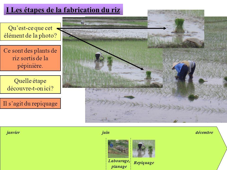 janvierjuindécembre I Les étapes de la fabrication du riz Quest-ce que cet élément de la photo? Ce sont des plants de riz sortis de la pépinière. Quel