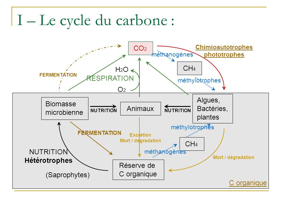 C organique I – Le cycle du carbone : Algues, Bactéries, plantes Biomasse microbienne NUTRITION Animaux NUTRITION CO 2 Chimioautotrophes phototrophes