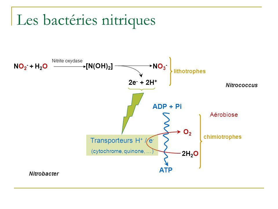 Les bactéries nitriques Nitrobacter NO2- + H2ONO2- + H2O lithotrophes Aérobiose ADP + Pi ATP O2O2 2H 2 O chimiotrophes 2e - + 2H + [N(OH) 2 ] Nitrite