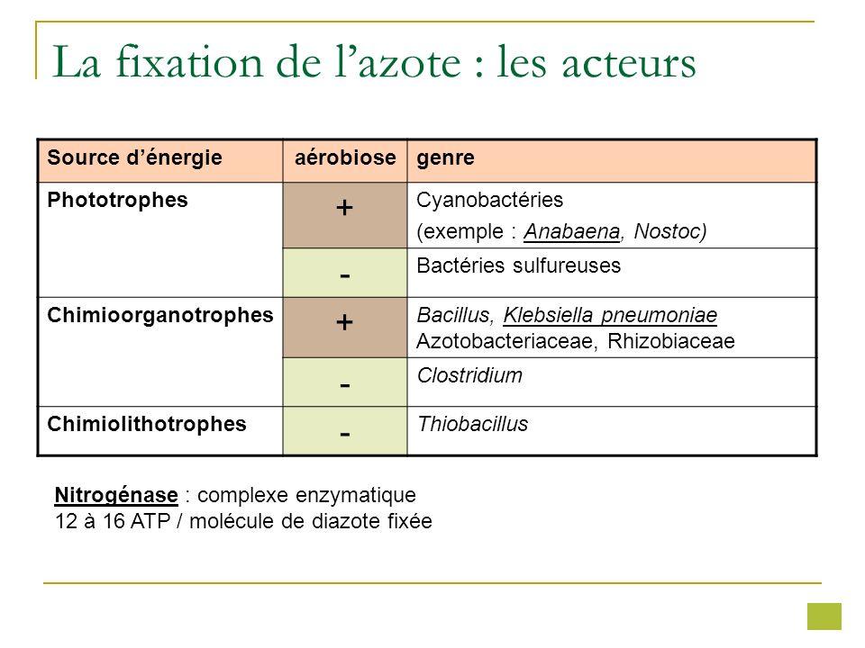 La fixation de lazote : les acteurs Source dénergieaérobiosegenre Phototrophes + Cyanobactéries (exemple : Anabaena, Nostoc) - Bactéries sulfureuses C