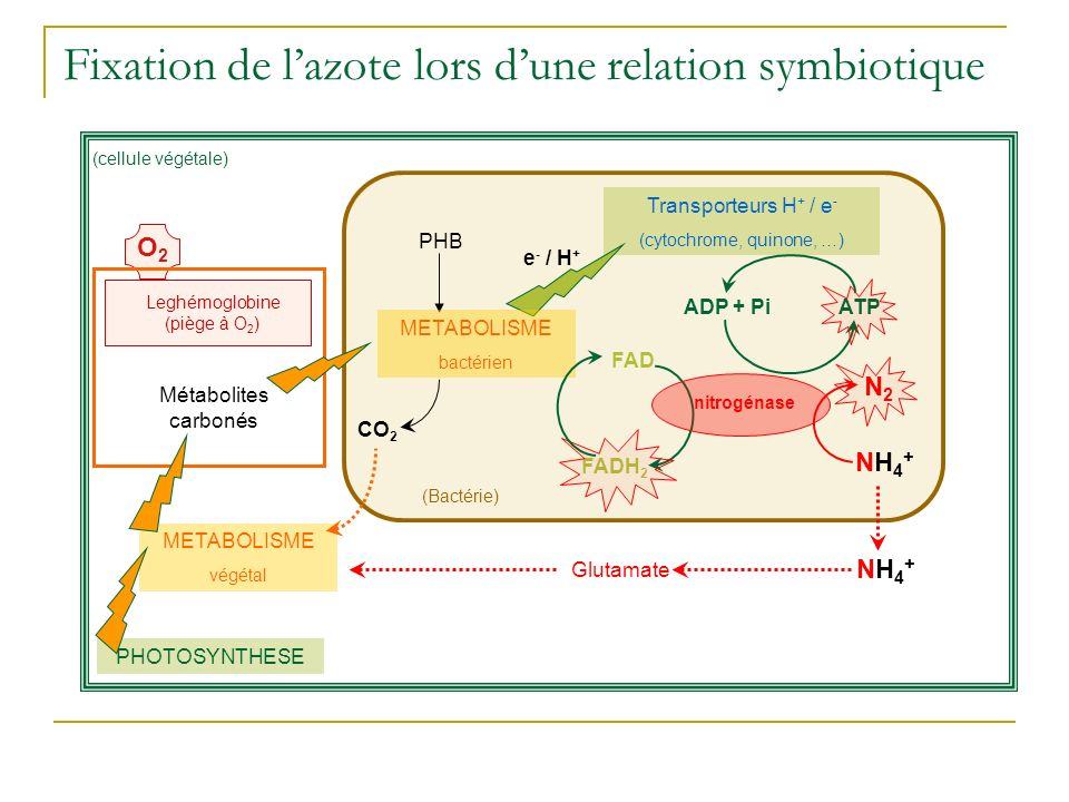 (Bactérie) Fixation de lazote lors dune relation symbiotique e - / H + Transporteurs H + / e - (cytochrome, quinone, …) PHB CO 2 FADH 2 ADP + PiATP FAD (cellule végétale) Leghémoglobine (piège à O 2 ) O2O2 Métabolites carbonés METABOLISME végétal PHOTOSYNTHESE N2N2 NH4+NH4+ Glutamate NH4+NH4+ METABOLISME bactérien nitrogénase