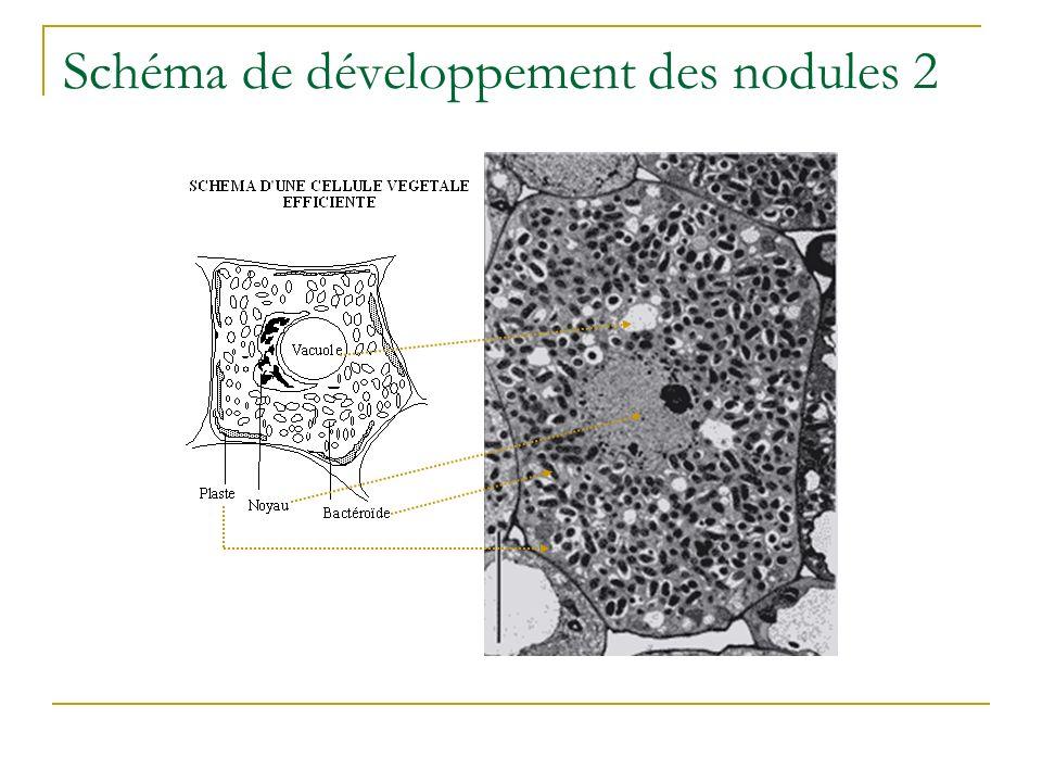 Schéma de développement des nodules 2