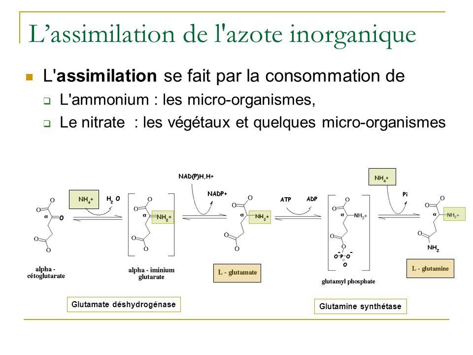 Glutamine synthétase Lassimilation de l'azote inorganique L'assimilation se fait par la consommation de L'ammonium : les micro-organismes, Le nitrate